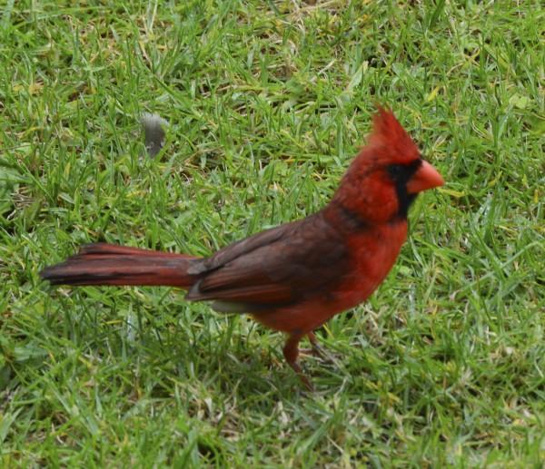 Northern Cardinal seen in Kaua'i