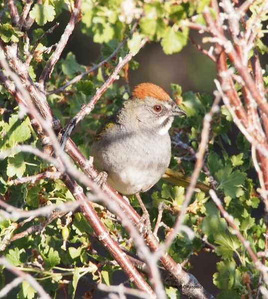 Green-Tailed Towee