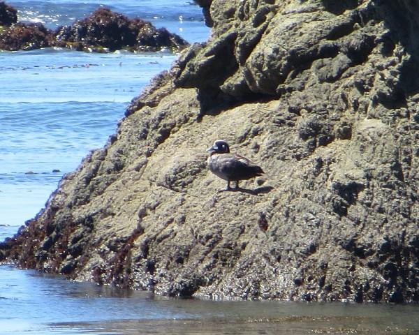 Harlequin Duck, Estero Bluffs Cayucos, CA.