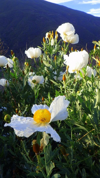 OK.. it's not choss... it's just pretty.  Love those matilija poppies ...