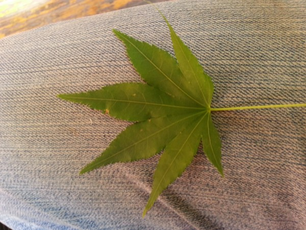 leaf from Japan...what kind of tree??