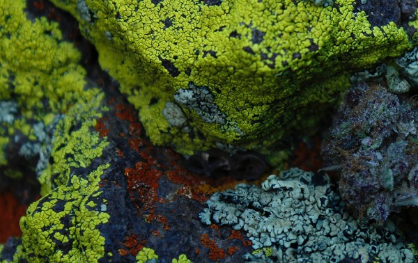 lichen and blueberries (look closely)