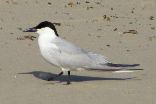 Gull-billed Tern, Oceano State Beach.