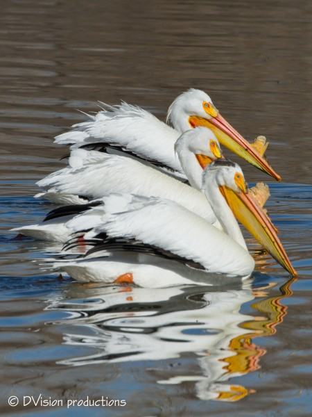 White Pelicans with weird and nasty beak growth to attract chicks ;-)