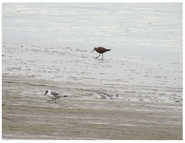 bonapartes gull and hudsonian godwit