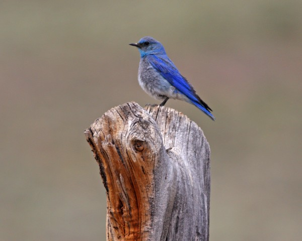 Mountain Bluebird, Bodie Ca.