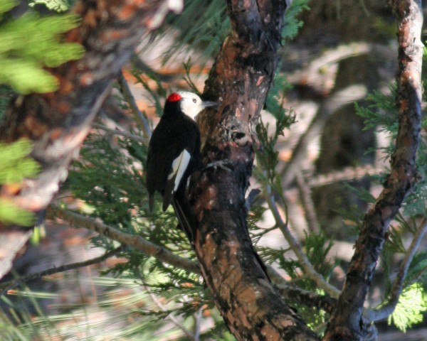 White-headed Woodpecker, Pinecrest Lake, CA.
