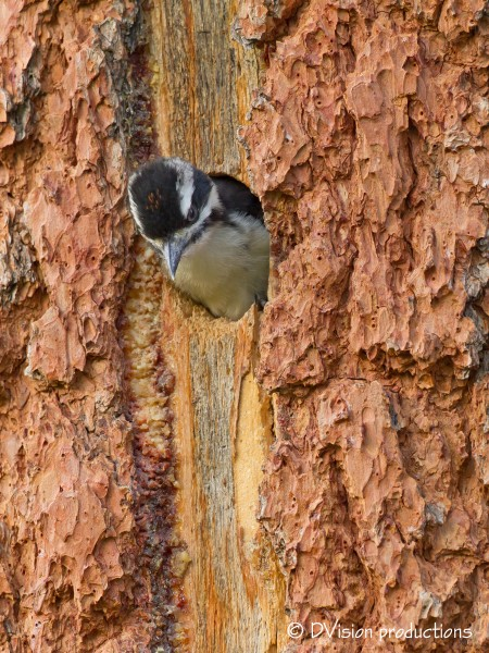 Baby Hairy Woodpecker contemplating the big jump