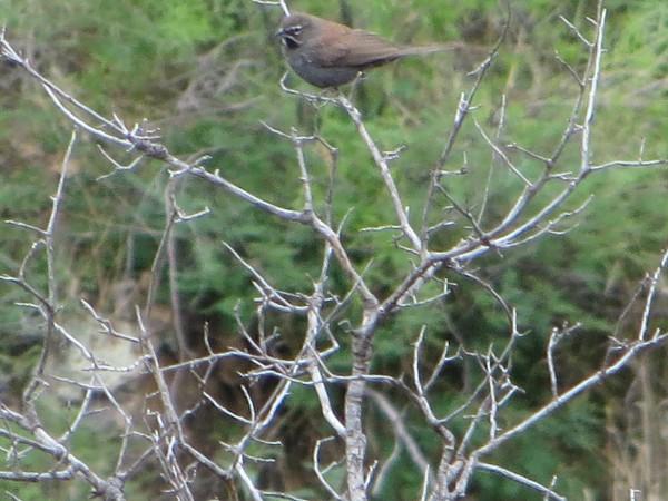 The Five Striped Sparrow- Photo Tom Slater