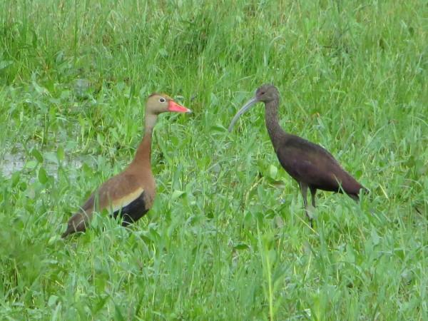 Black-bellied Whistling Duck, Rio Rico, AZ.