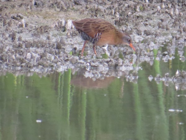 Virginia Rail at the San Joaquin Wildlife Sanc.