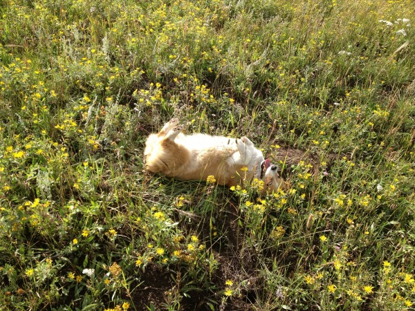 A roll in the wildflowers!  Woo!
