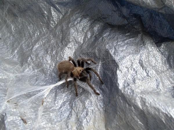 Small tarantula, El Potrero Chico