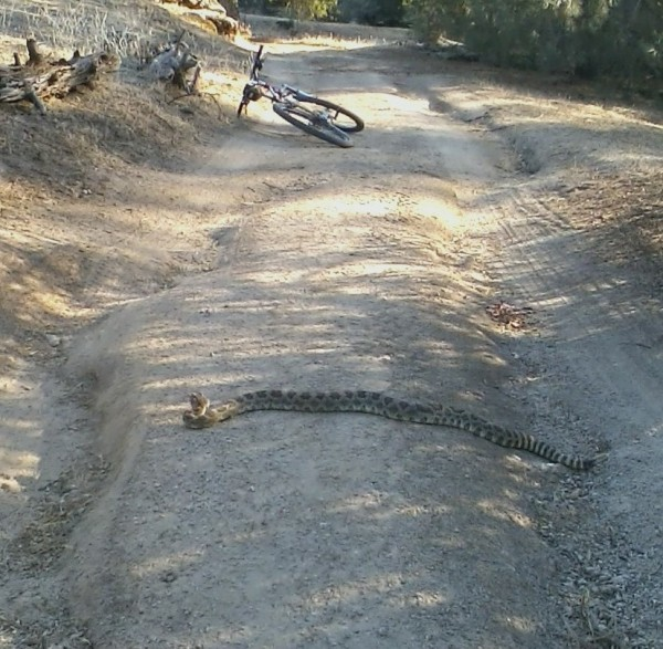 Northern Pacific Rattlesnake, full, happy and docilte