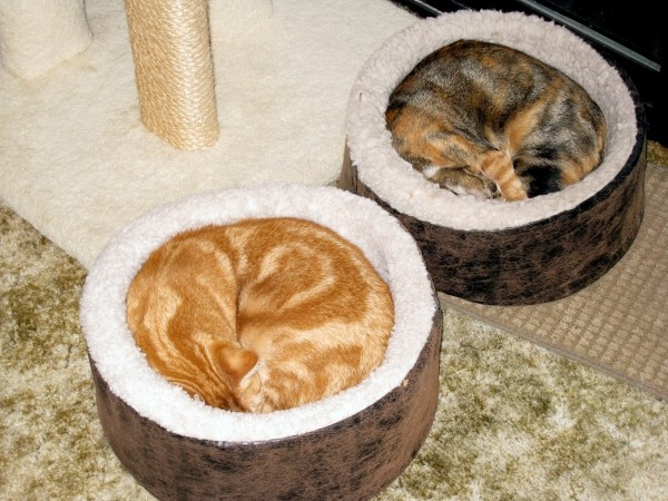 Who likes some cat sushi? Mango is the orange tabby. She is a girl! Ki...