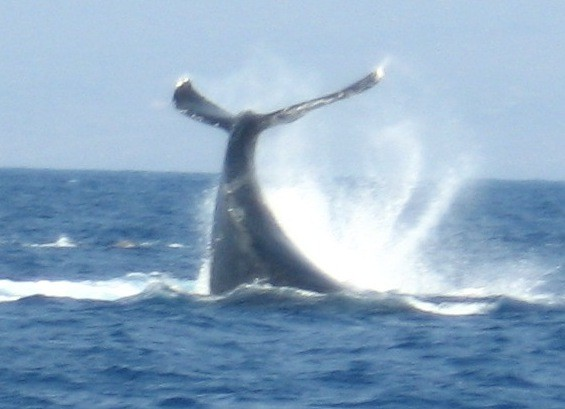 Humpback whale slapping its tail.