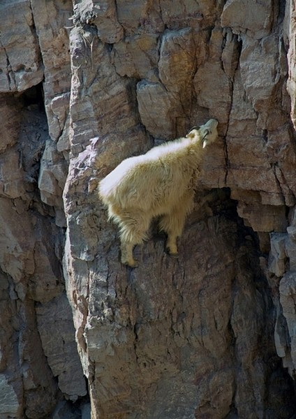 Goats can climb 5.9 C2, so hang those food bags high!