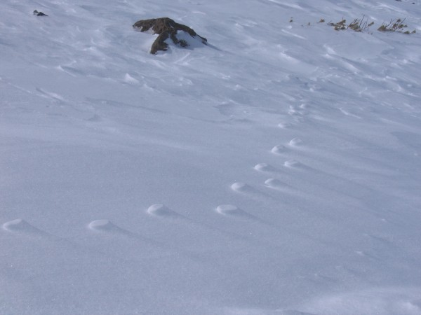 Frozen coyote tracks