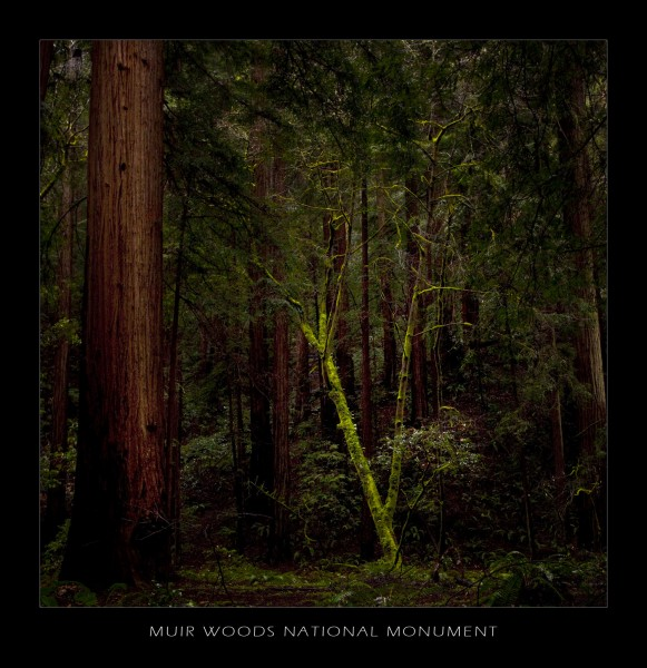in the shadows of redwoods