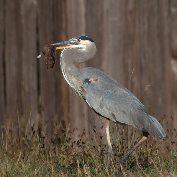 This is why you see Great Blue Herons stalking around dry fields