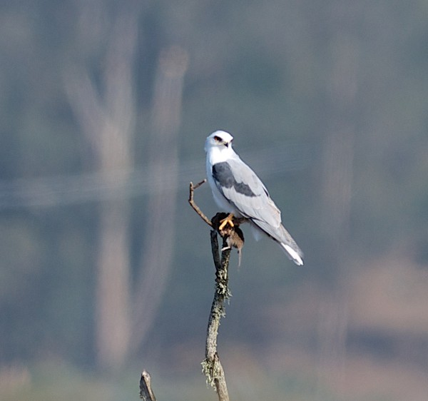 White-tailed Kite with a rat