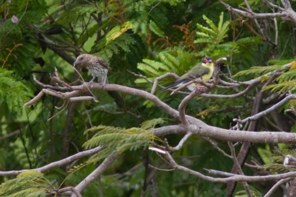 An Australasian Figbird pair
