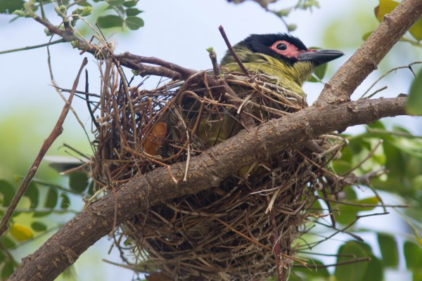 Male Figbird on the nest