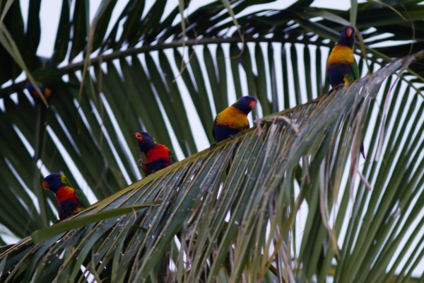 Rainbow Lorikeets are around in hundreds