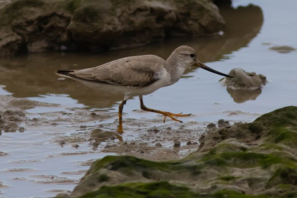 We were really hoping to see Terek Sandpipers