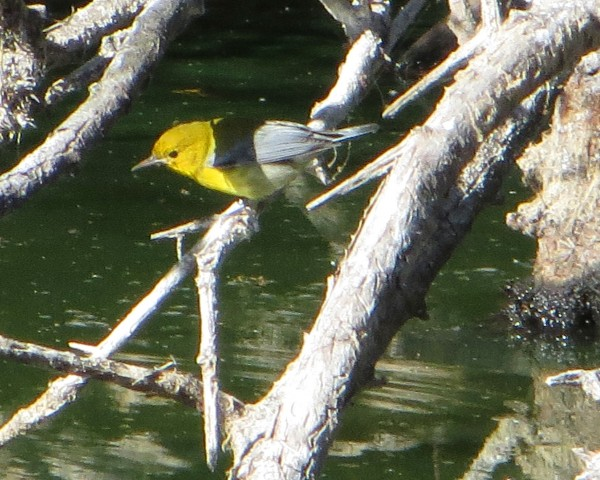 Prothonotary Warbler, Oceano SP CA