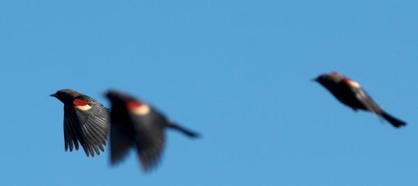 &quot;Bi-colored&quot; wing blackbirds <br/>