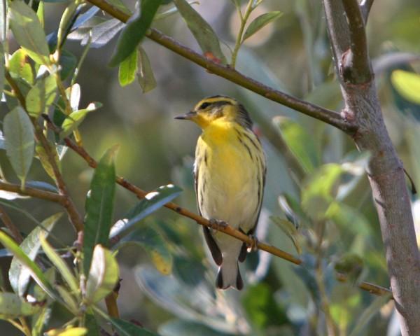 Blackburnian Warbler, Oceano SP.
