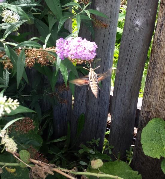 Hummingbird look-alike