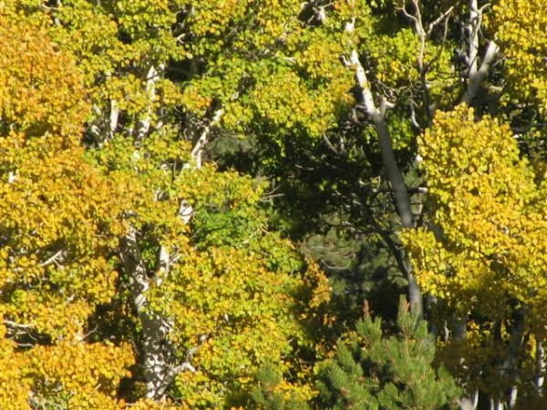 Grand Finale, tremendous fall colors all the way down Carson pass into...