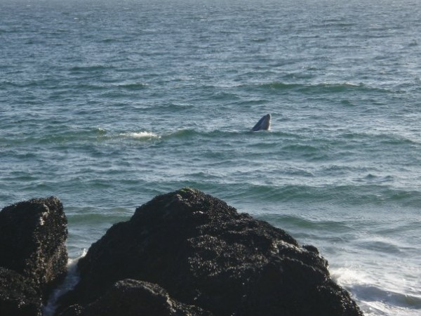 Baby whale.  Pt. Dume