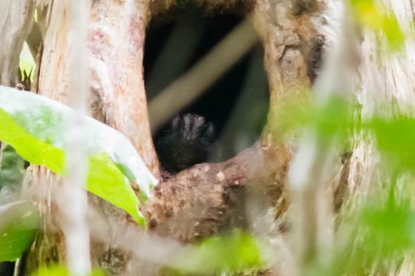 Barred Owlet-nightjar <br/> Varirata NP, PNG