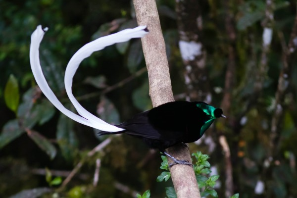 Ribbon-tailed Astrapia, male <br/>