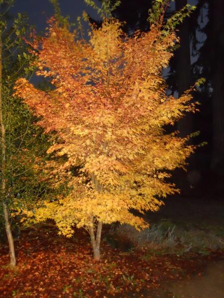 Red Bark Maple