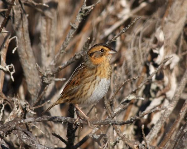 Nelson's Sparrow, SLO county, Morro Bay Marina, CA.
