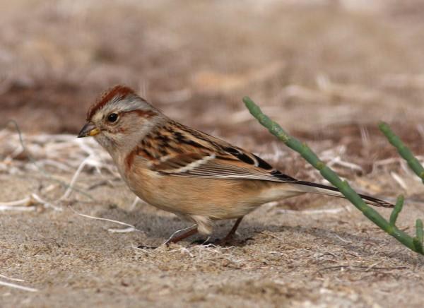 American Tree Sparrow, Goleta CA.
