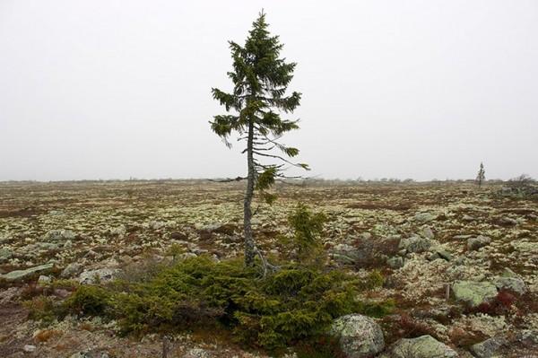 Old old spruce in Sweden
