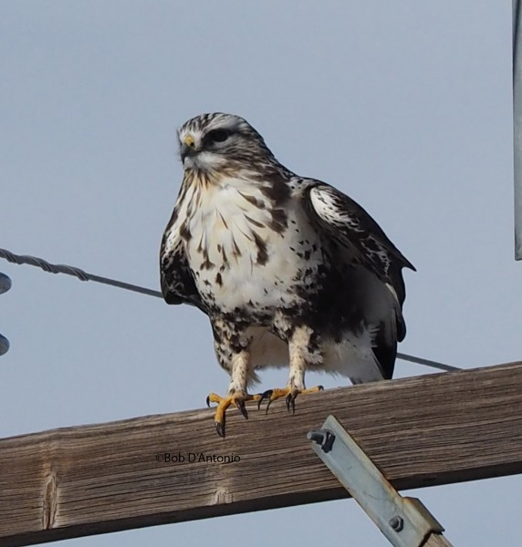 Rough legged Hawk on the way down.