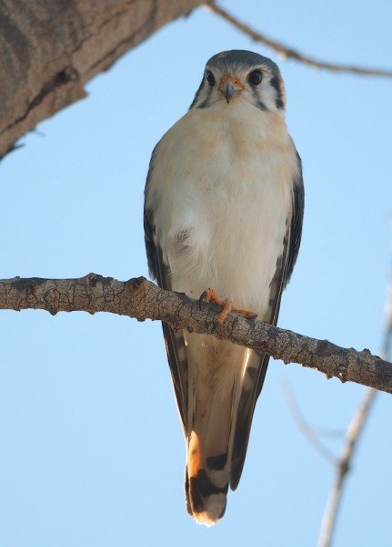 American kestrel in the Bahamas