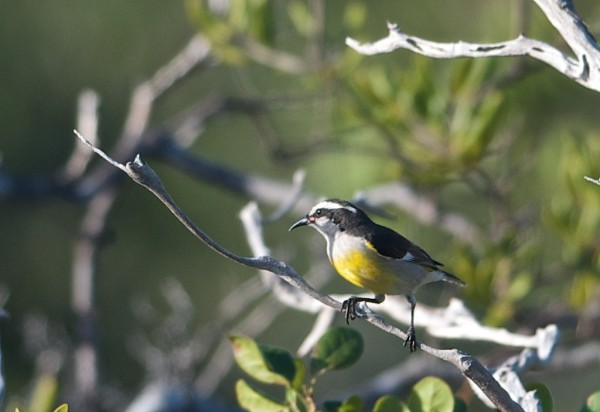 Bananaquit (lifer for me)