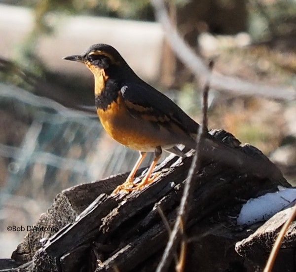 Varied Thrush...the best shot I could get.