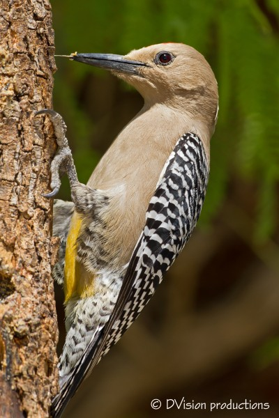 Gila woodpecker using the magic tongue