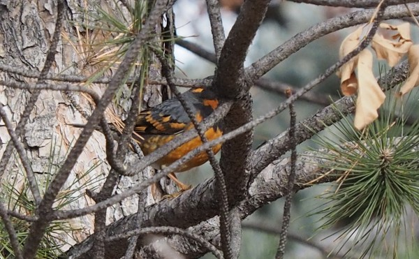 Varied Thrush in Loveland, CO