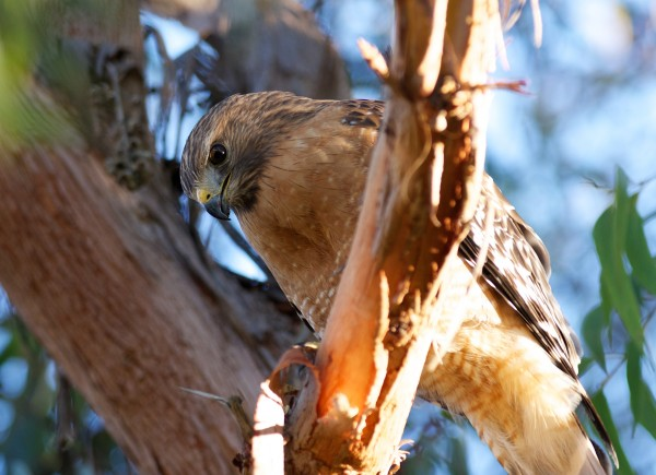 Red-shouldered Hawk. Click it to look him right in the eye