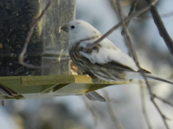 Rosy finch? with leukism?