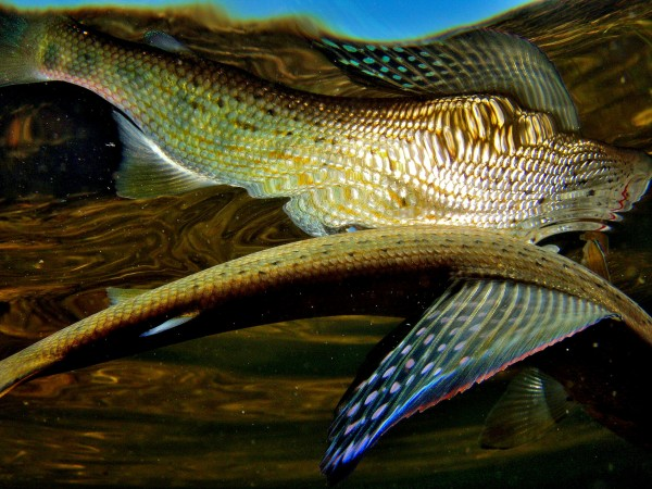 wind river grayling